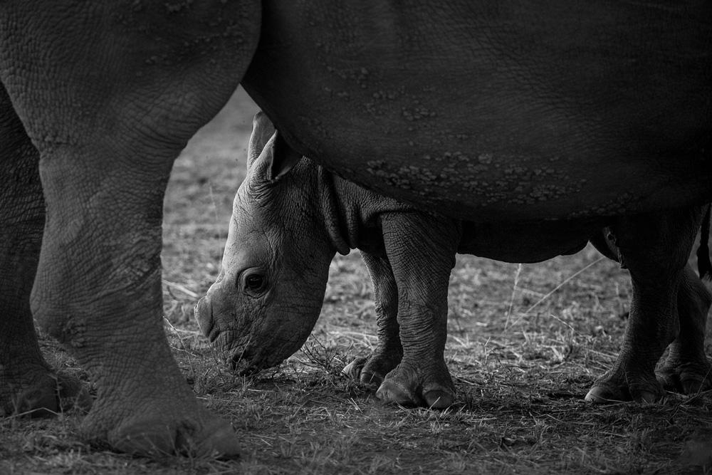 Close up of a rhino calf
