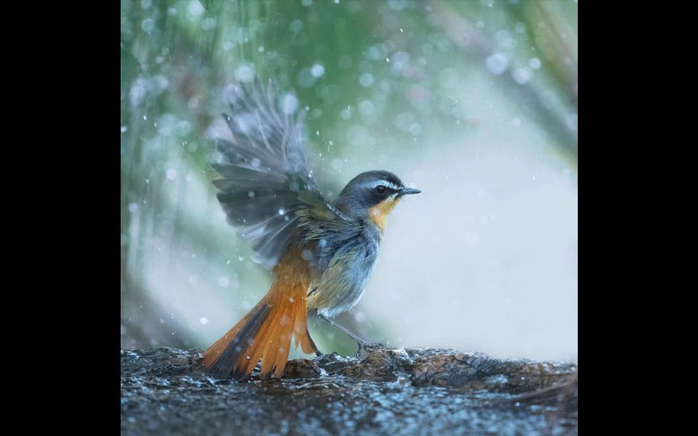 A Cape robin-chat in the rain