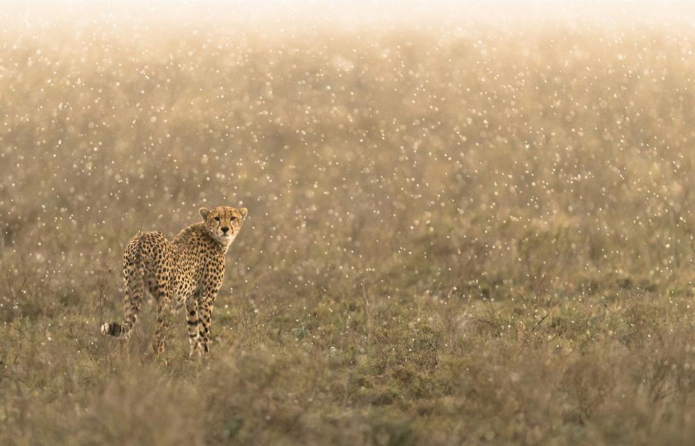 Cheetah standing in the rain