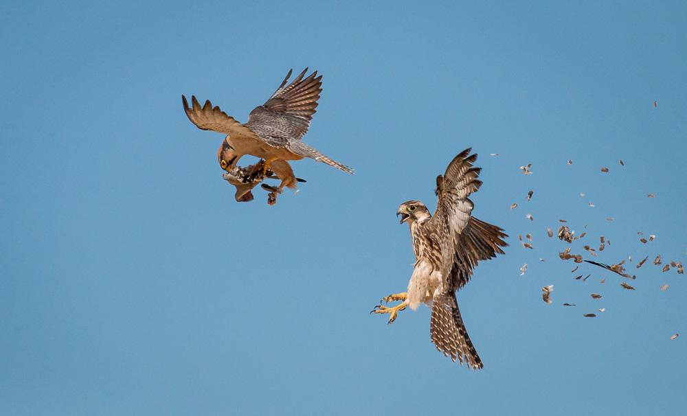 Bird steals prey from another bird