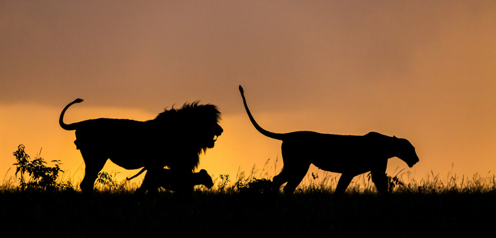 A lion family walking at sunset