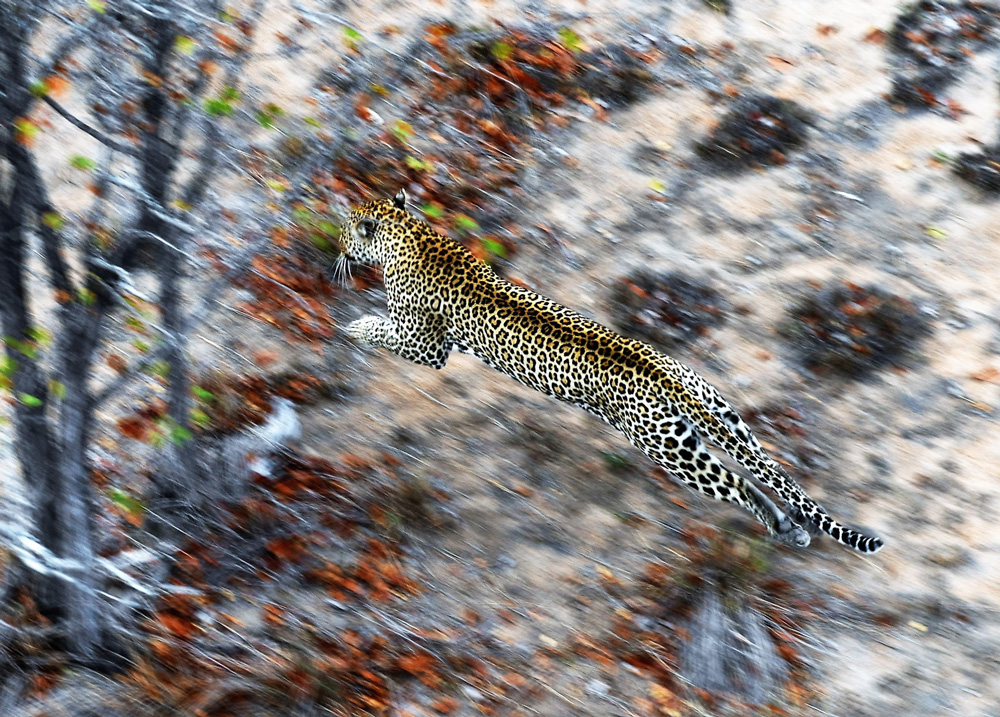 Leopard leaping through the air