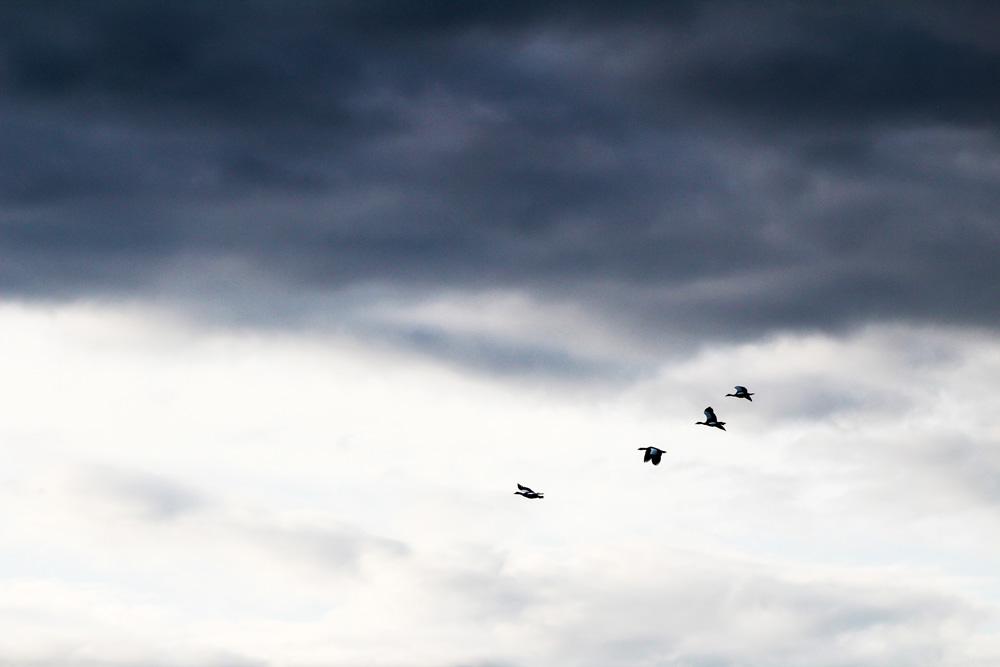 Four birds gliding through the air