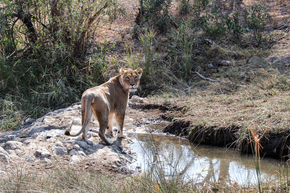 A lioness in the bush staring back at the camera
