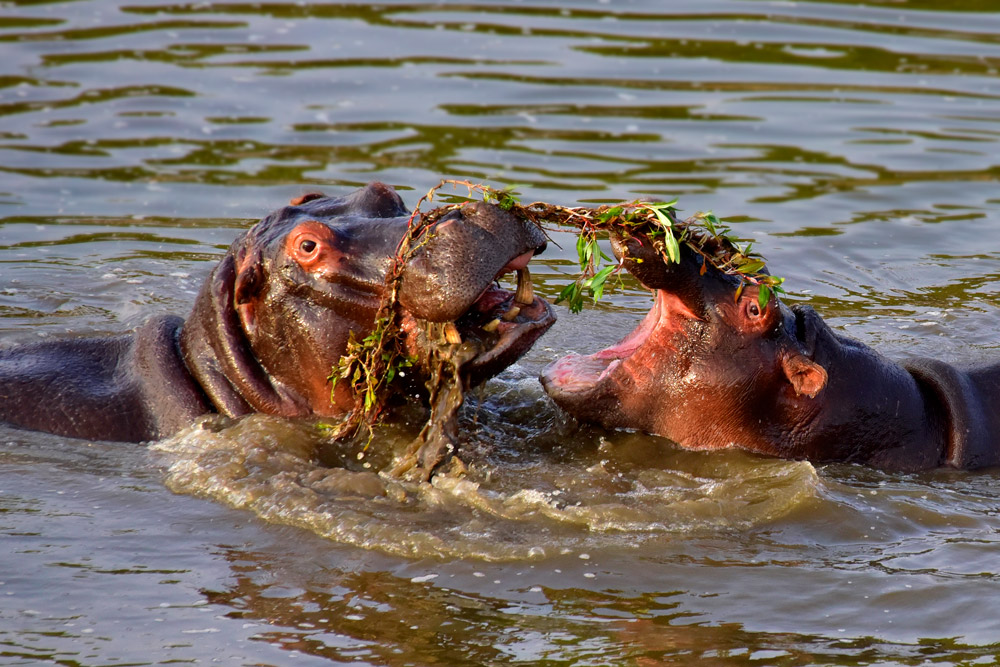 Hippos in the water at Kruger National Park, South Africa