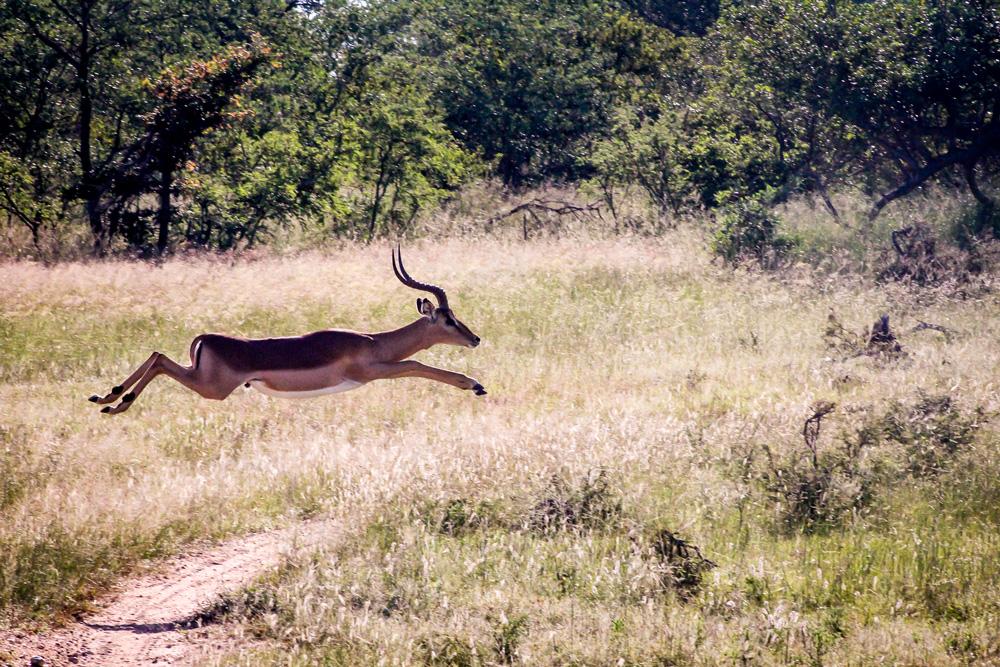 An impala jumping through the air