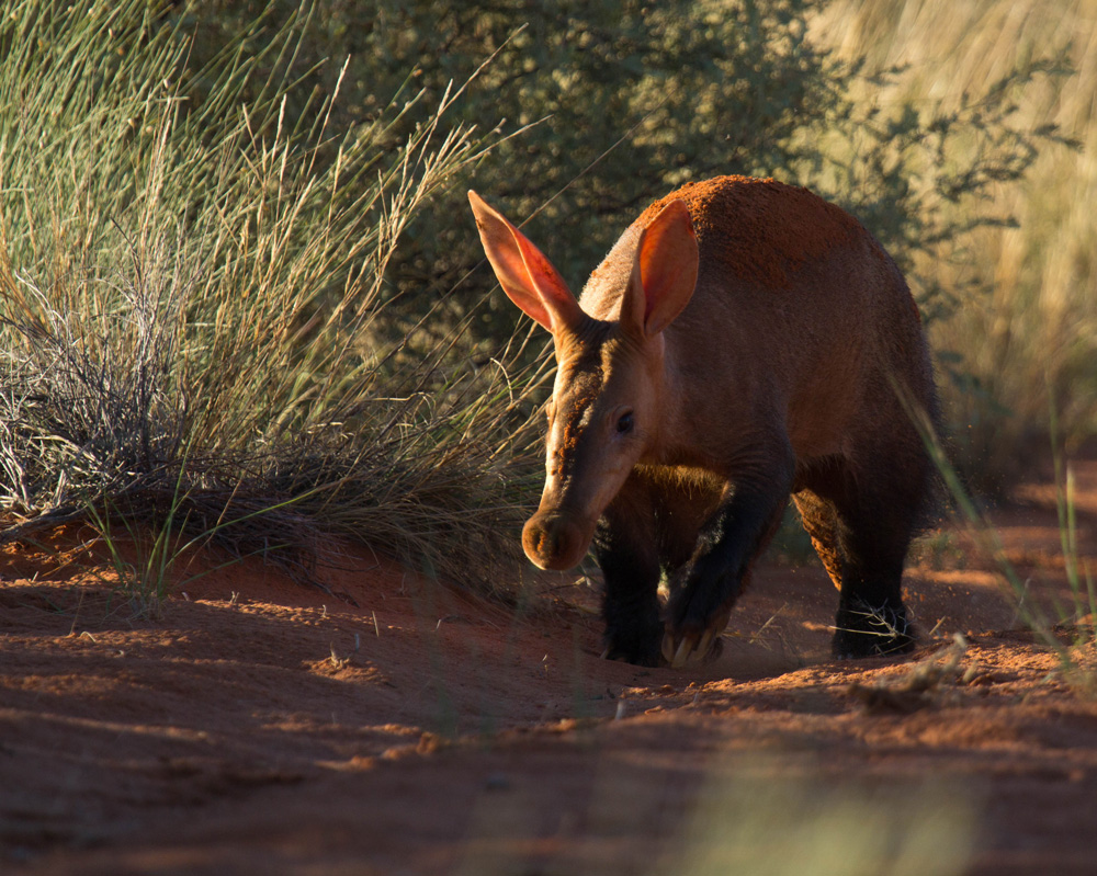 A close up of an Aardvark