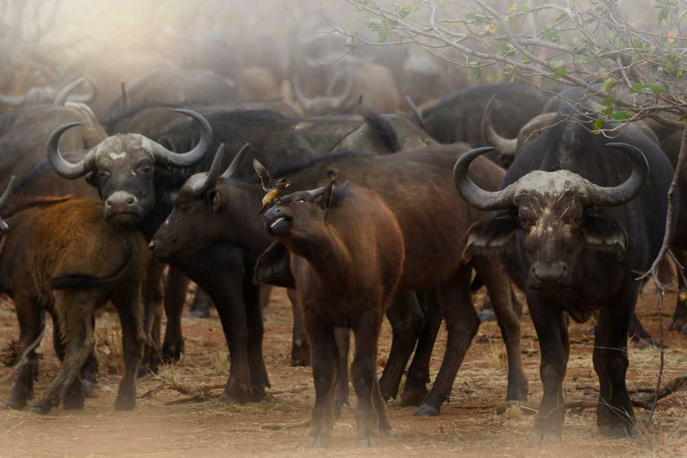 A herd of buffalo in Kruger National Park, South Africa