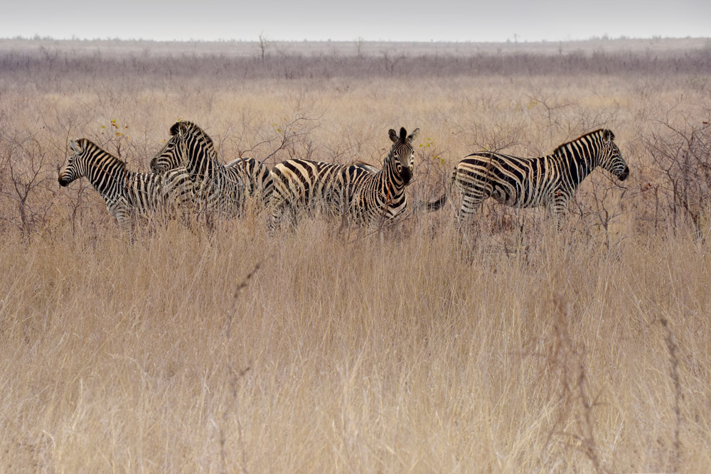 Zebras in open plains in Kruger National Park, South Africa