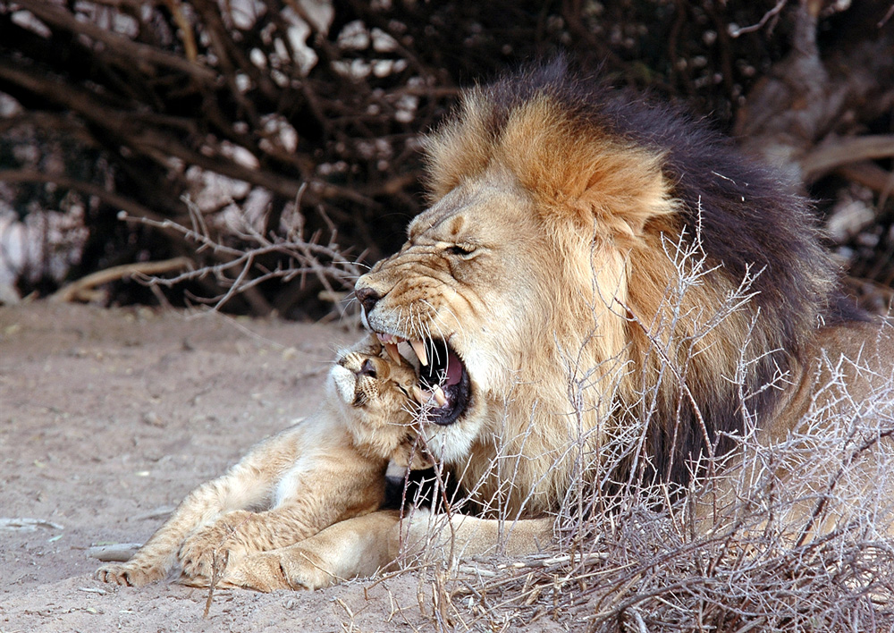 A lion grooming his cub