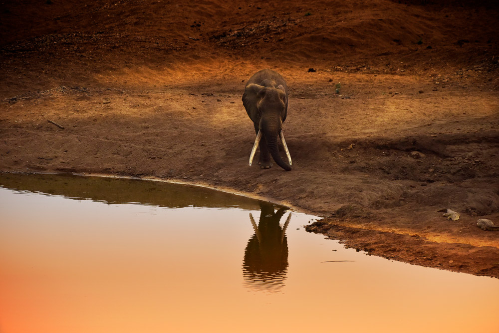Large tusker elephant at a waterhole in Kruger National Park, South Africa