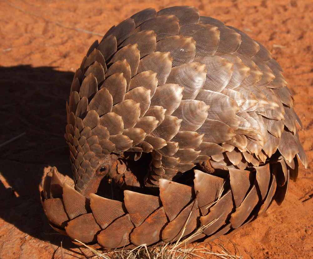 Pangolin rolled up into a ball