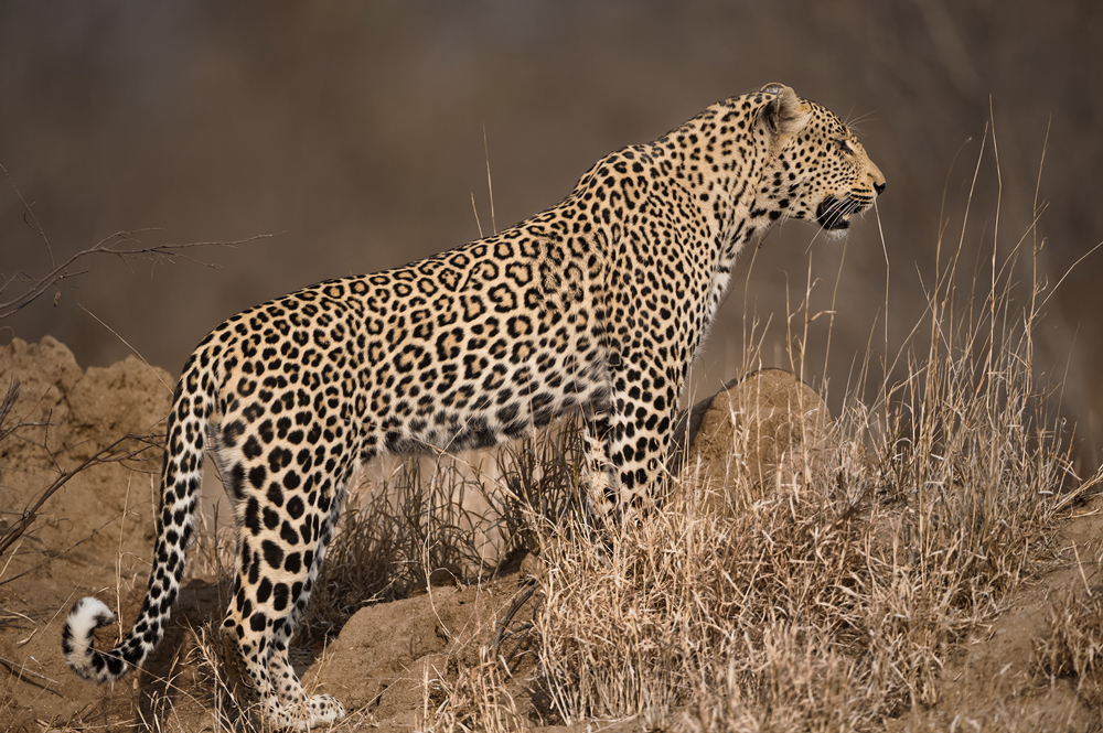 Leopard on a termite mound