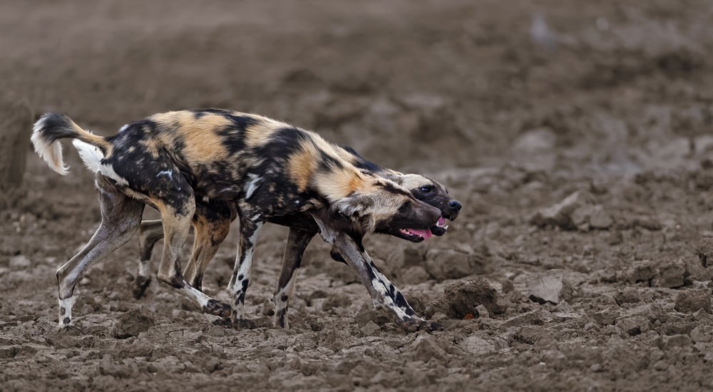 Two wild dogs licking each other