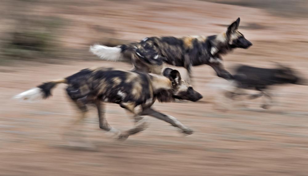 Wild dogs running