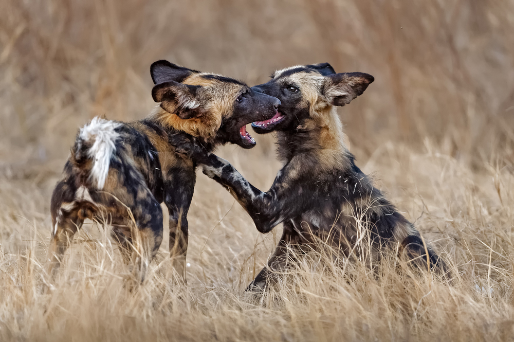 Wild dog pups playing