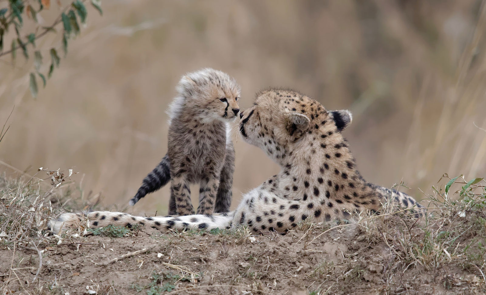 The kiss in Maasai Mara, Kenya ©Olivier Delaere