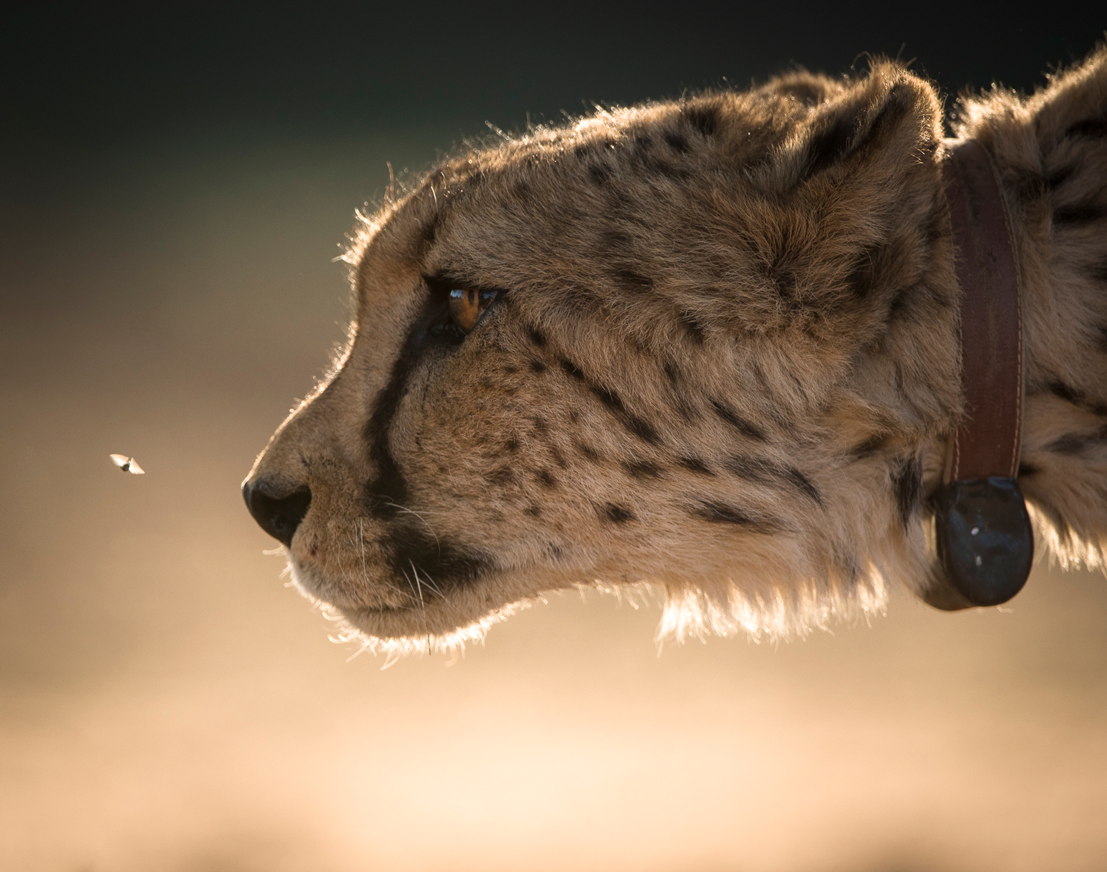 """A collared cheetah at <a href=""""http://www.okonjima.com"""" target=""""_blank"""" class=""""track"""">Okonjima, home of The AfriCat Foundation</a> ©<a href=""""https://www.facebook.com/Anja-Denker-Wildlife-Photography-and-Visual-Art-246355102104717/"""" target=""""_blank"""">Anja Denker</a>"""