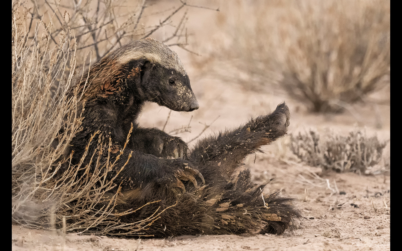 A honey badger cleans up after a mud bath in Kgalagadi Transfrontier Park, South Africa © Johan J. Botha (Photographer of the Year 2018 Semi-finalist)