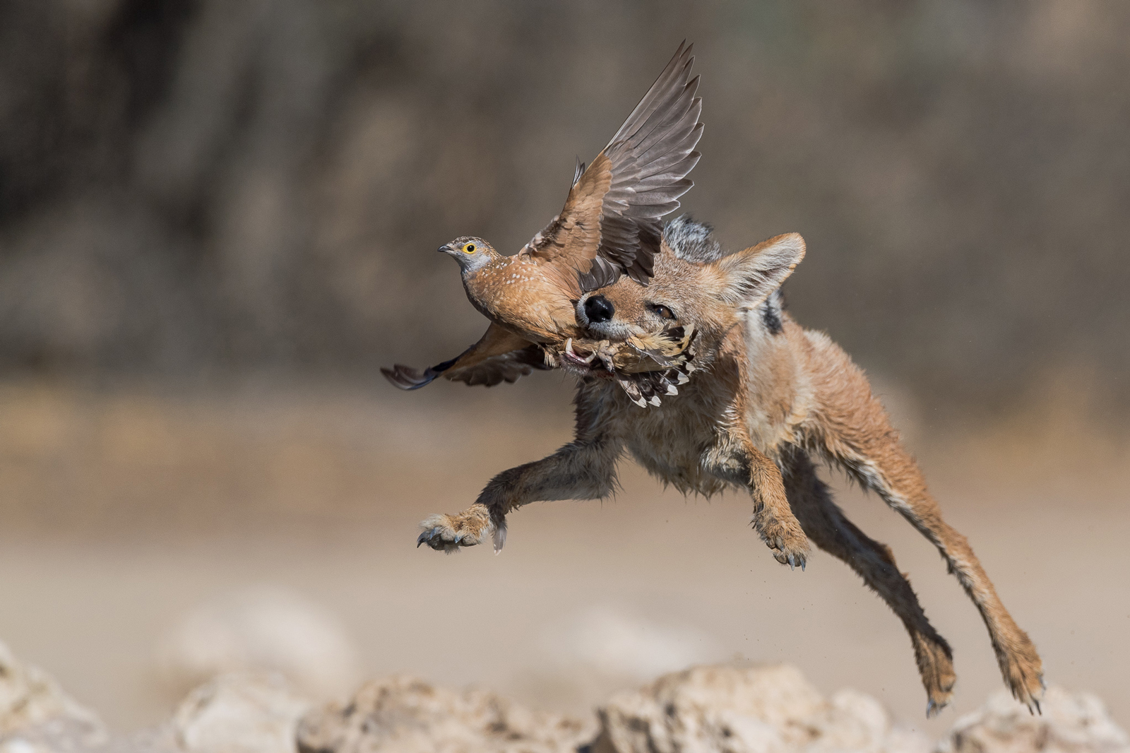 """He who adapts best, wins!"" in Kgalagadi Transfrontier Park, South Africa/Botswana ©Johan Mocke"