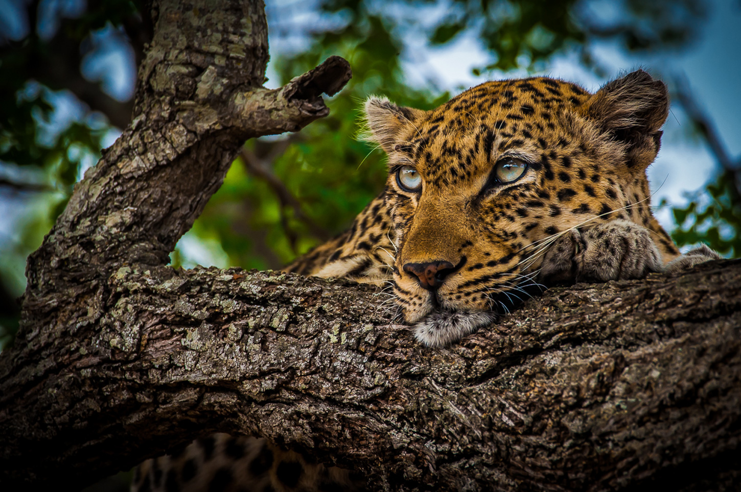 Beautiful leopard in Timbavati, South Africa ©Paul Slyer