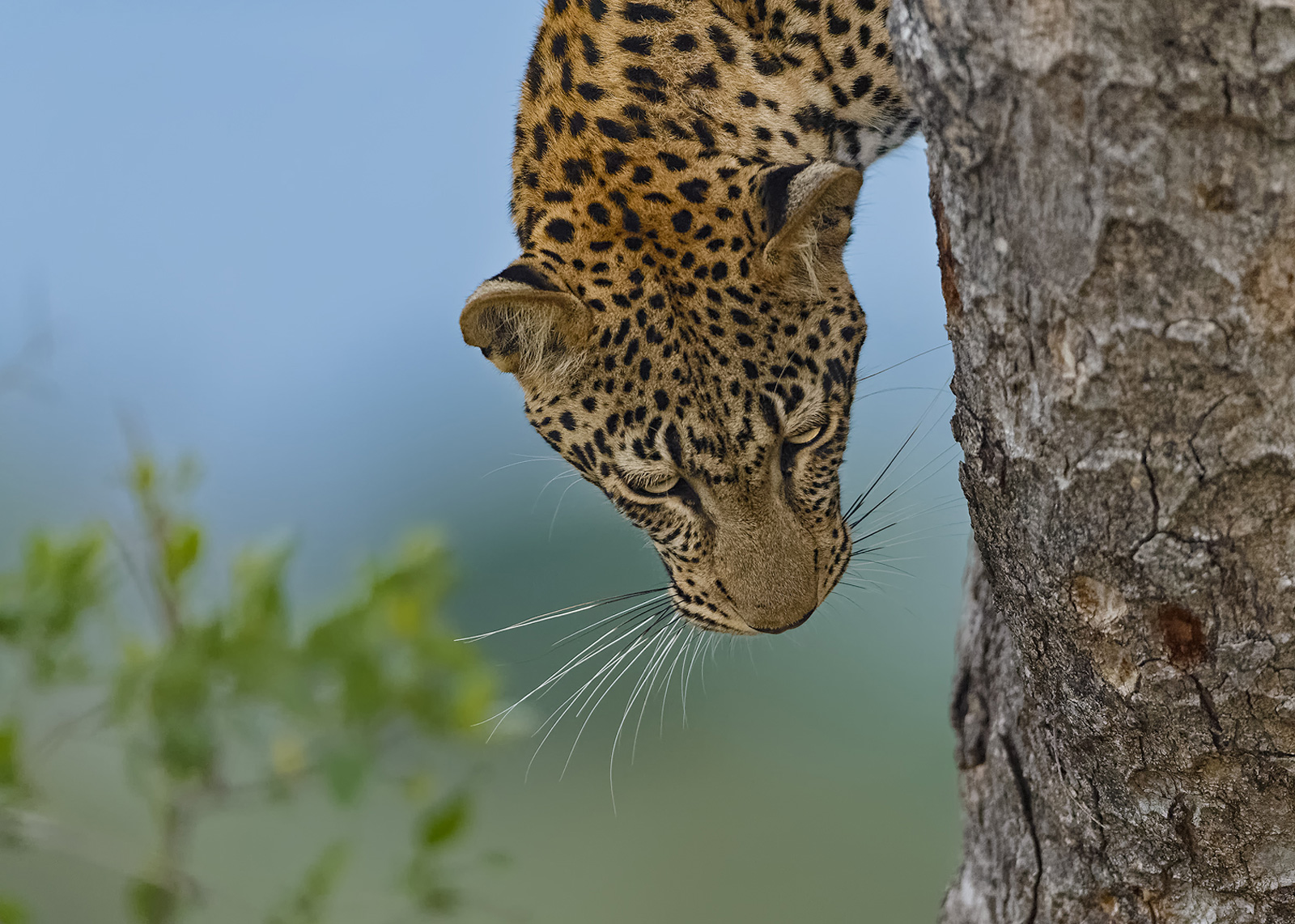 """Downward-facing leopard"" in Londolozi Private Game Reserve, South Africa ©Willem Kruger"