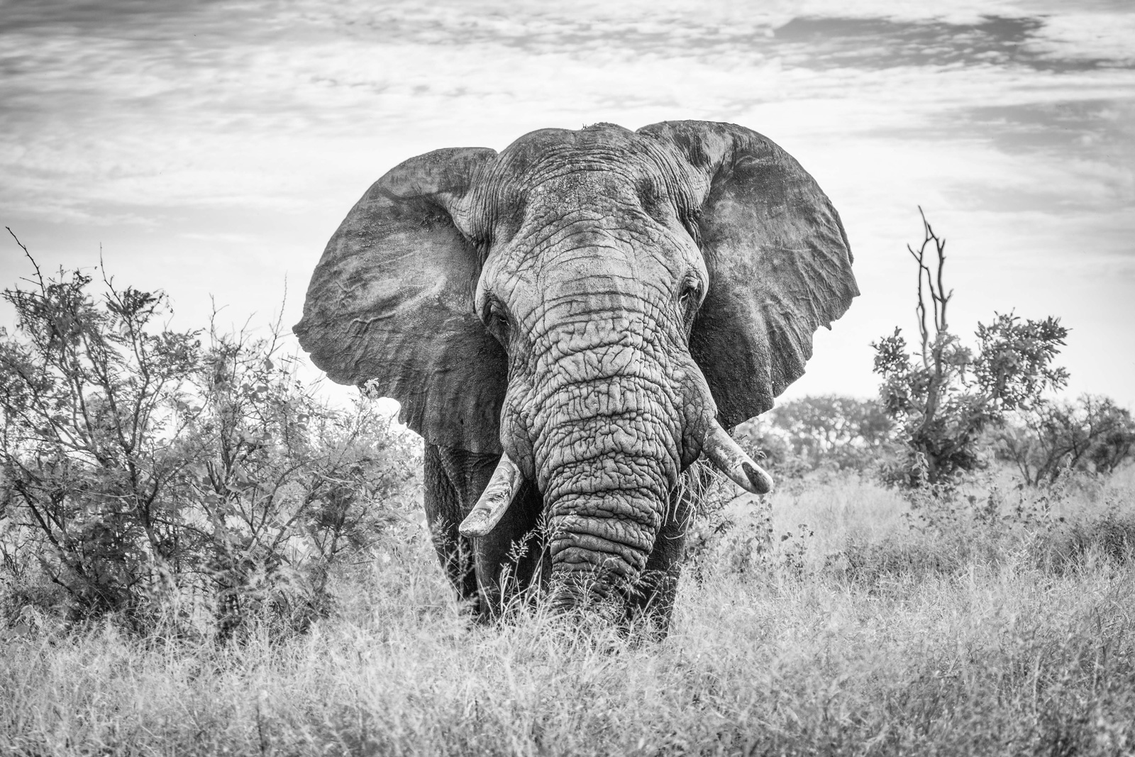 A large elephant approaches in Kruger National Park, South Africa ©Jennifer Ludlum