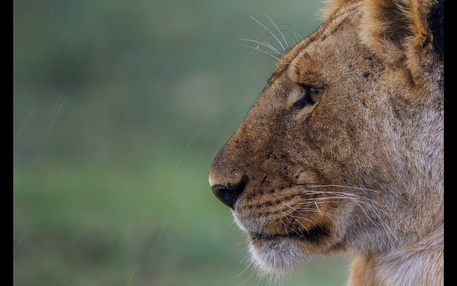 """Lioness in the rain"" in Ndutu, Ngorongoro Conservation Area, Tanzania © Thorsten Hanewald"