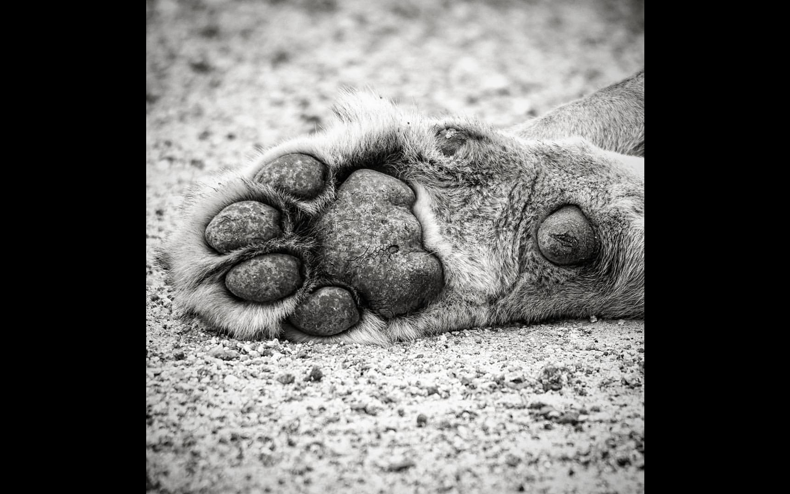Close up of a lion's paw in Timbavati Private Nature Reserve, South Africa © Ryno Vosloo (Instagram/rynovosloo_safari)