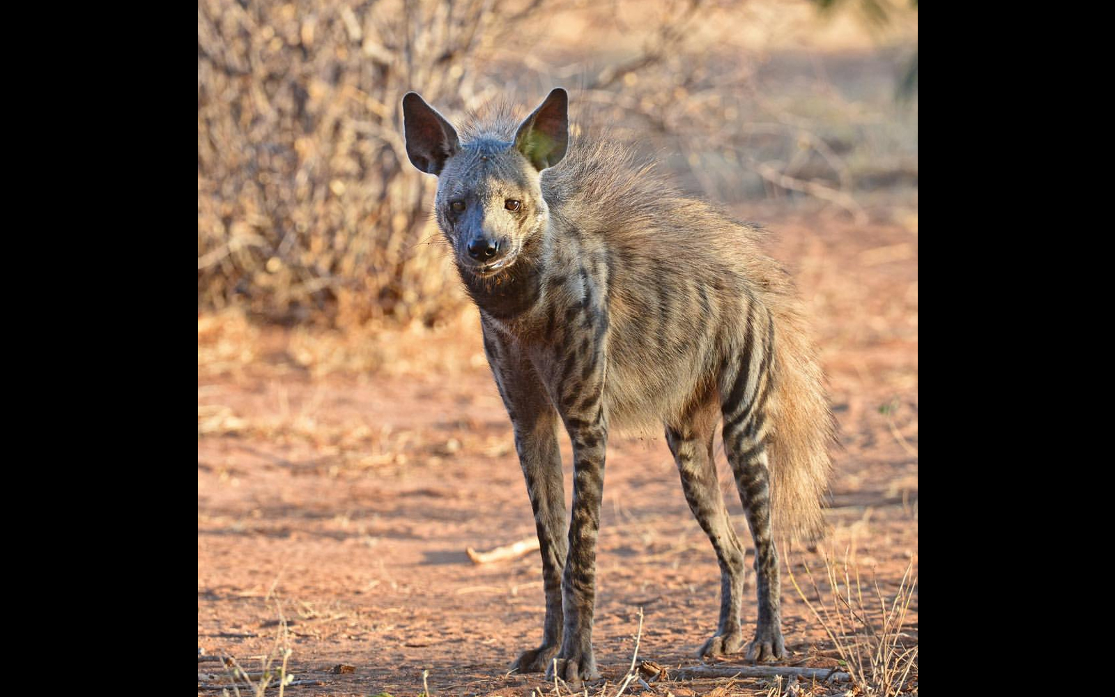 A striped hyena in Samburu National Reserve, Kenya – chosen for the rarity of such a sighting © Andrew Campbell (Instagram/acsafaris)