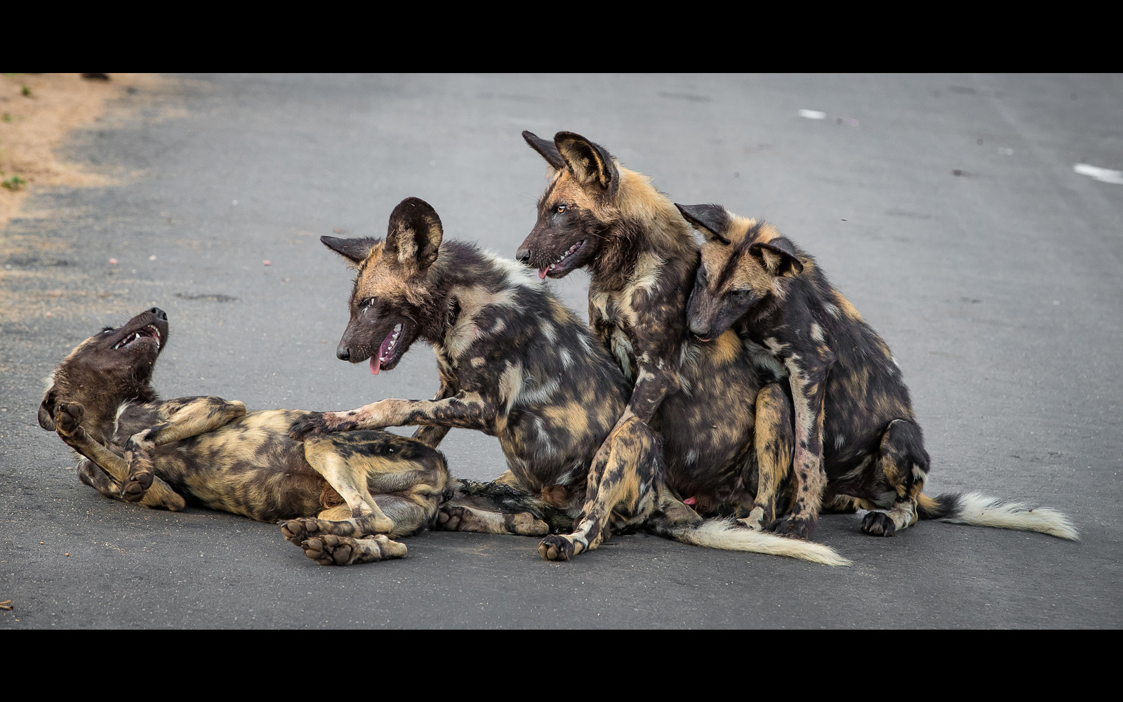 """""""Naughty painted pile"""" – African wild dog teenagers in the road in Kruger National Park, South Africa ©  Annemarie du Plessis"""