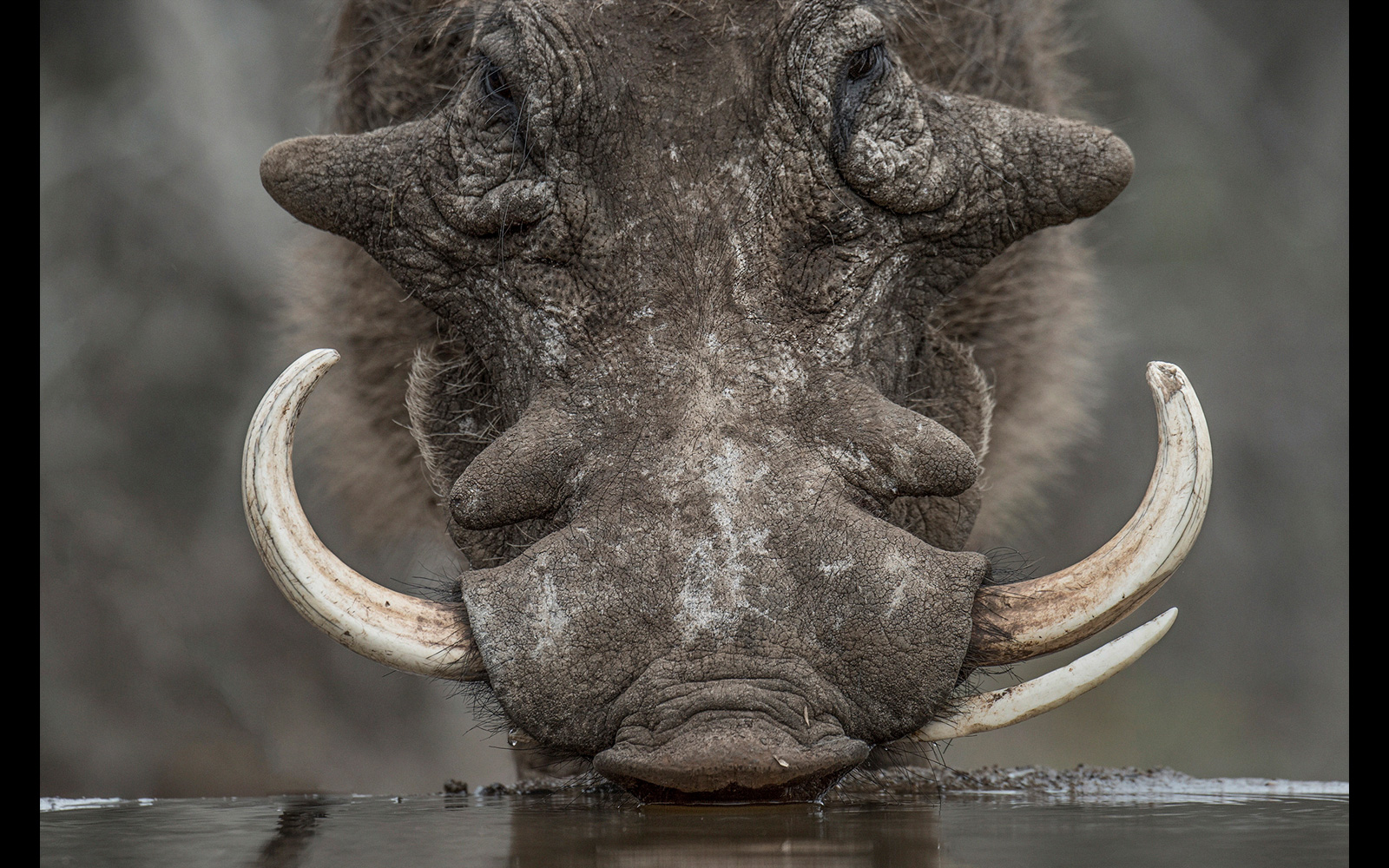 A wild, weathered warthog boar drinking at a bird hide in Zimanga Private Game Reserve, South Africa © Johan J. Botha