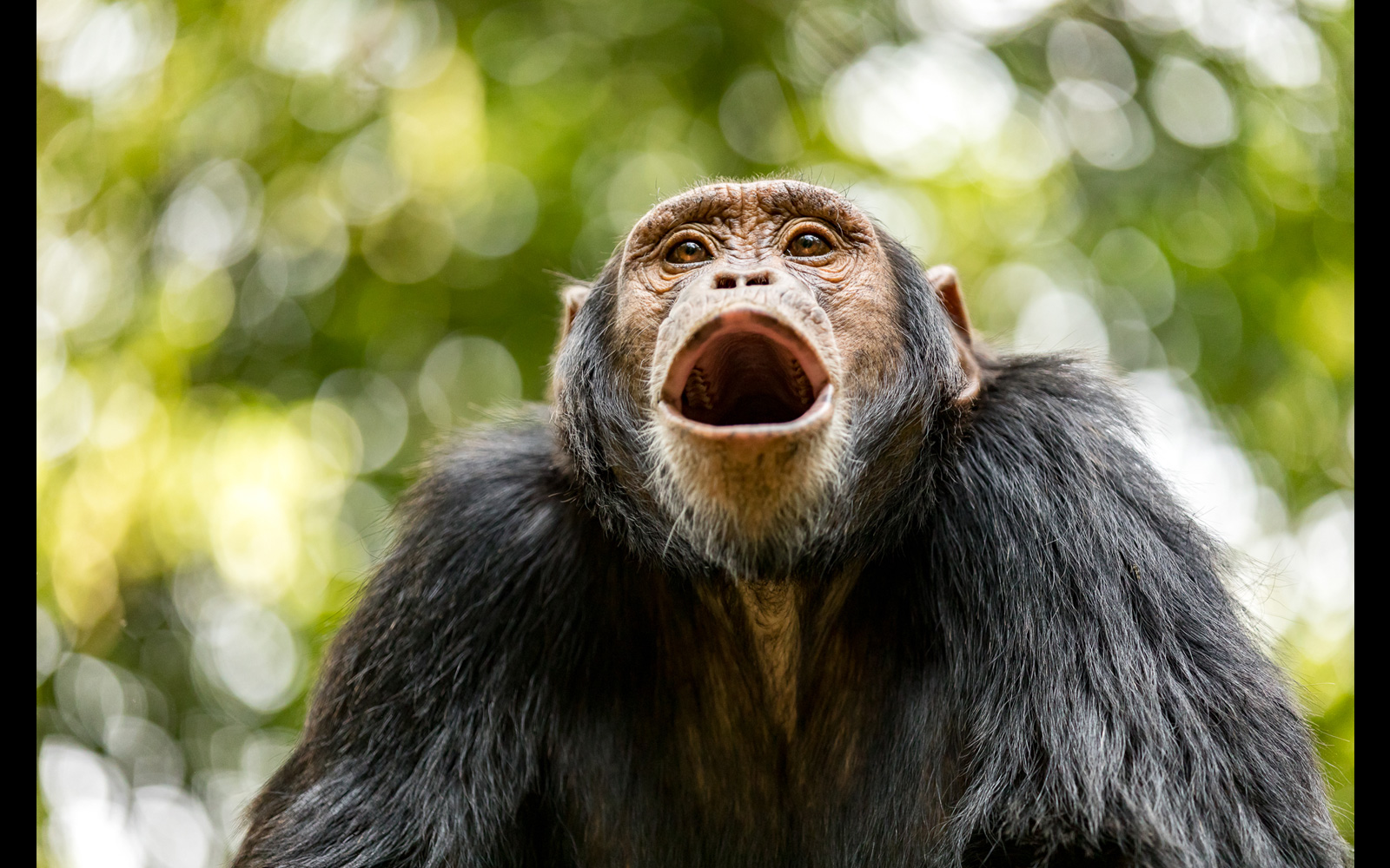 """""""The vocal chimp"""" – a chimpanzee calls out as he loses patience for his turn to be groomed in Kibale National Park, Uganda © Fiona Goodall"""
