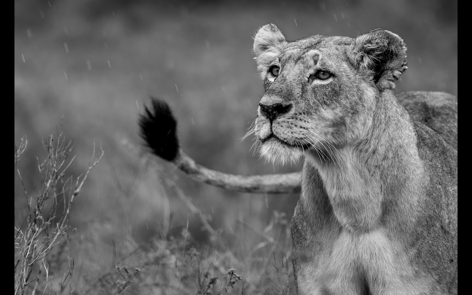 Lioness in the rain in Nairobi National Park, Kenya © Nagaraj Tilakraj
