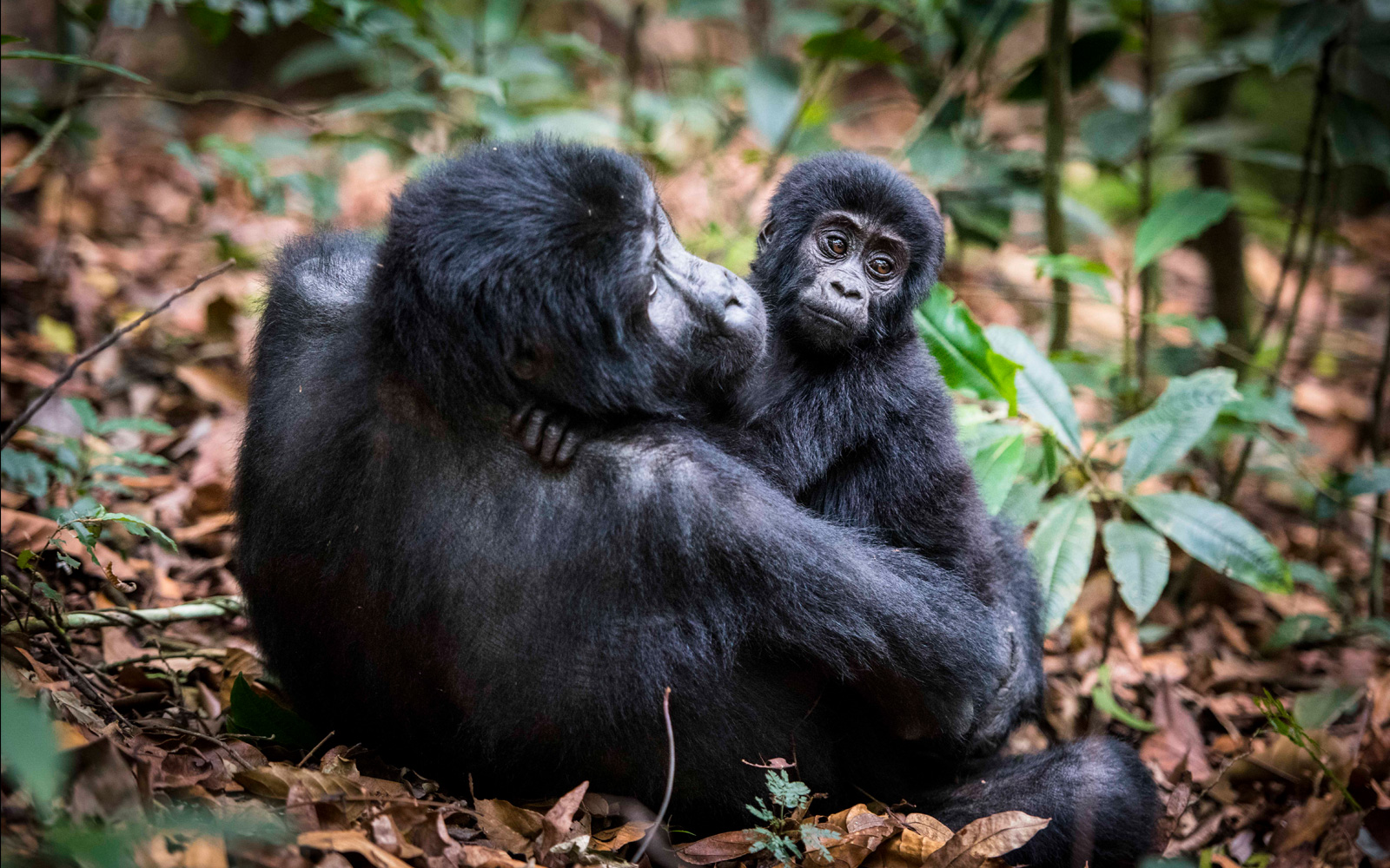 A gorilla and her young in Bwindi Impenetrable National Park, Uganda © Andrea Galli
