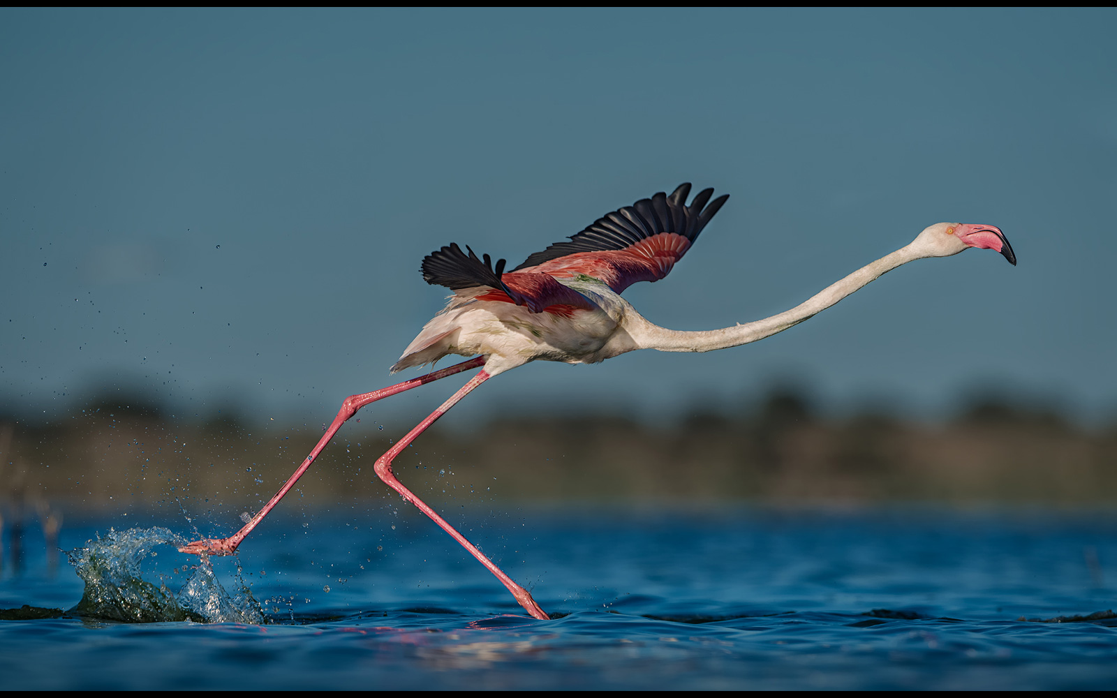A flamingo takes off from a lake in Welkom, South Africa © Willem Kruger
