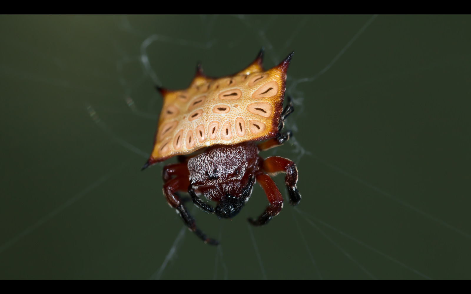 A box kite spider (Isoxya tabulata) feeds on a weevil beetle in Greater Kruger National Park, South Africa © Eraine van Schalkwyk