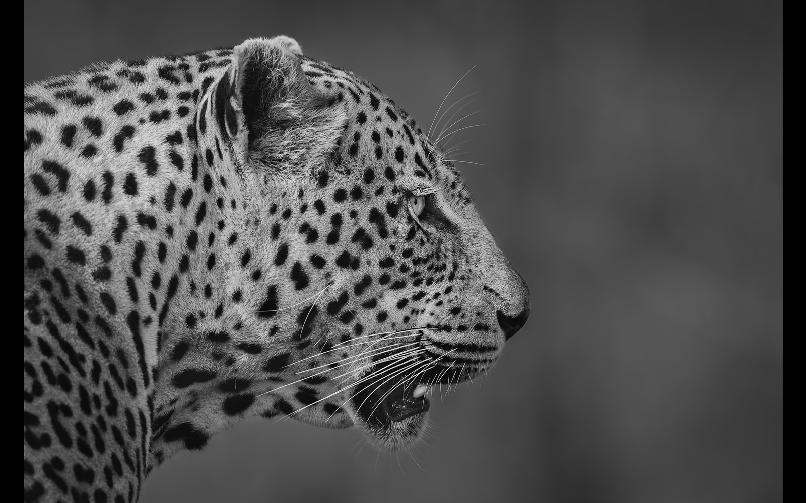 A close-up side portrait of a male leopard in Londolozi Game Reserve © Willem Kruger