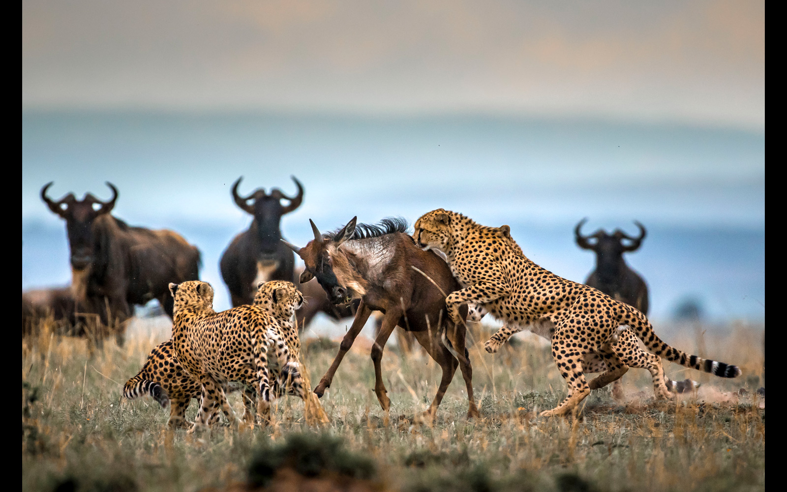 Cheetahs overwhelm a young wildebeest in Maasai Mara National Reserve, Kenya © Paolo Torchio