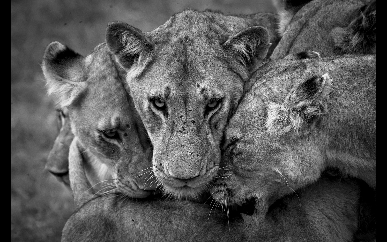 Lions bond in Manyeleti Game Reserve, South Africa © Armand Grobler