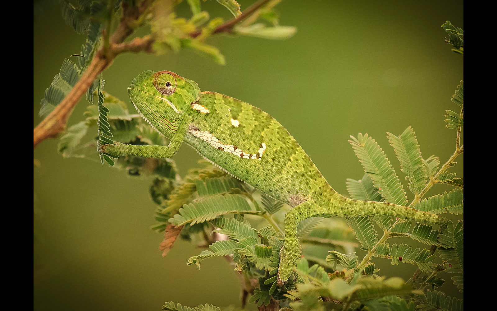 A flap-necked chameleon is caught off guard while climbing through the bush in Kruger National Park, South Africa © Jennifer Vitanzo