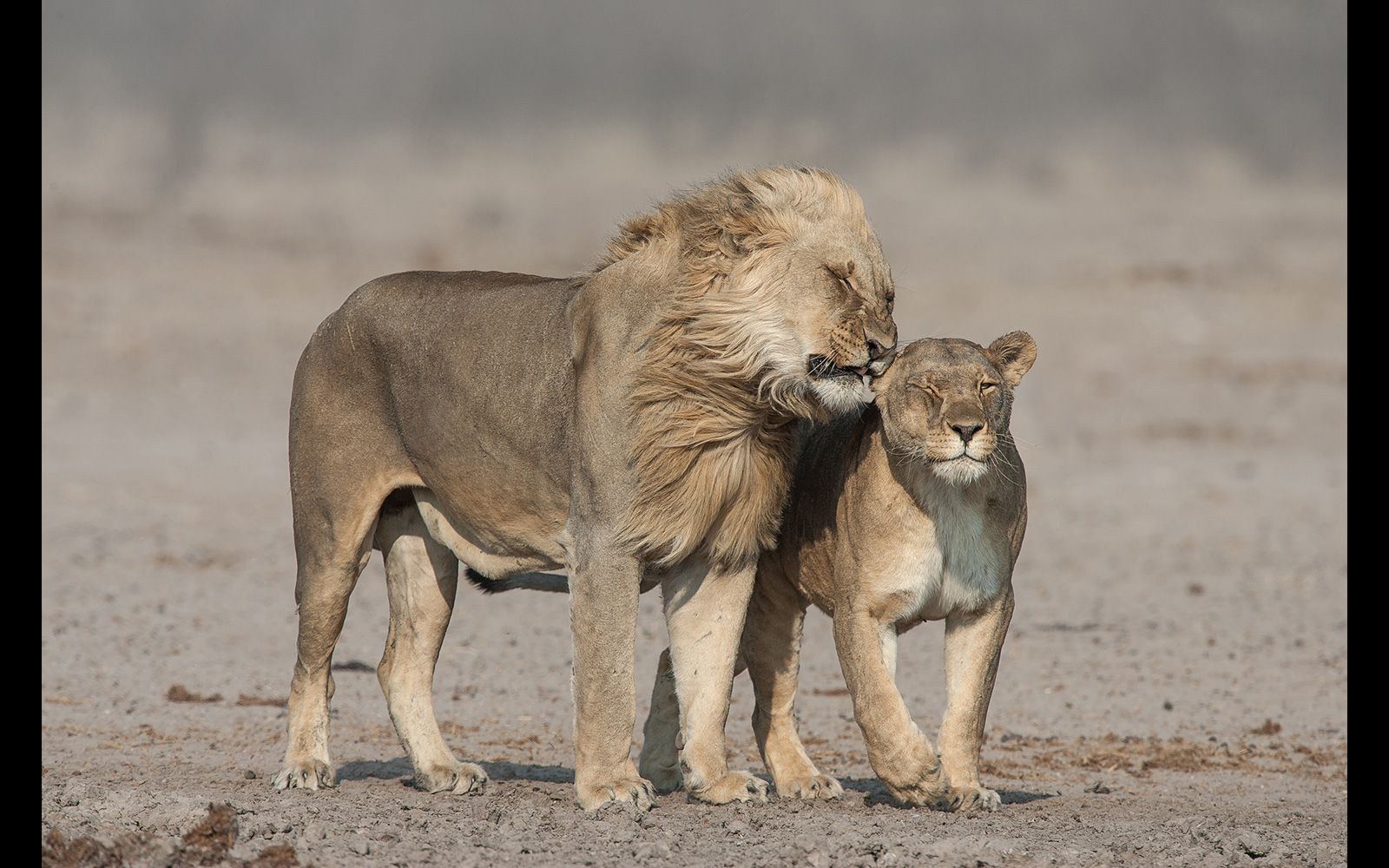 A whispering lion couple in strong wind in Etosha National Park, Namibia © Johan J. Botha