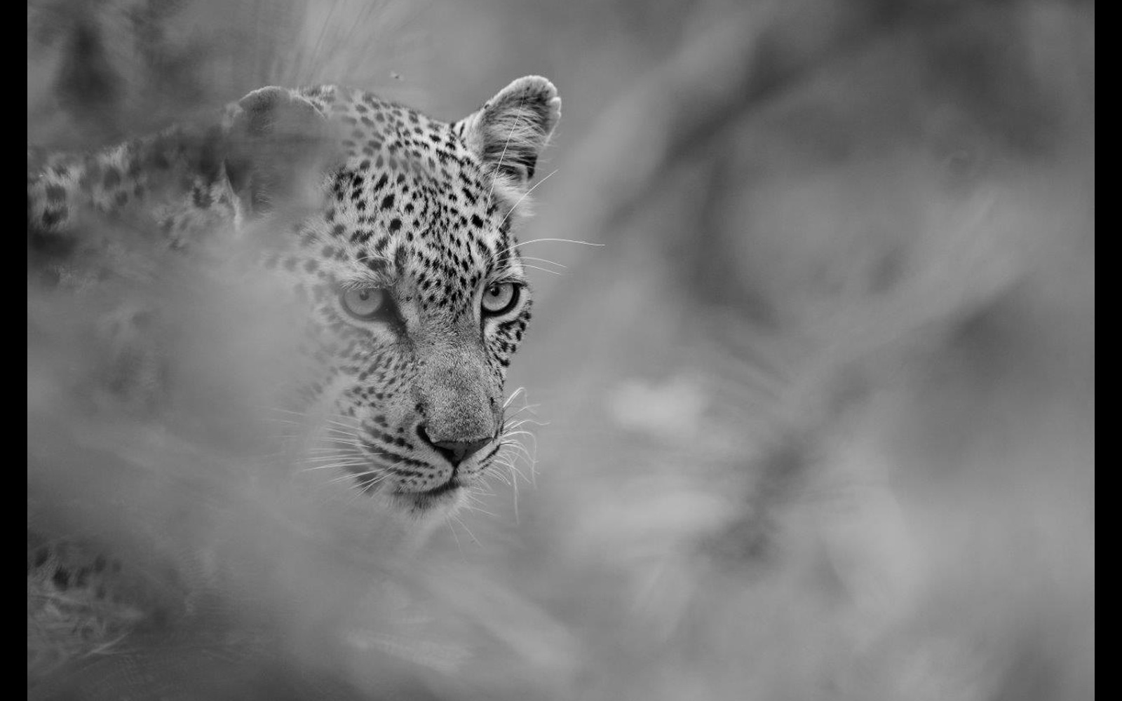 A leopard emerges from the undergrowth in Timbavati Nature Reserve, South Africa © Michael Raddall