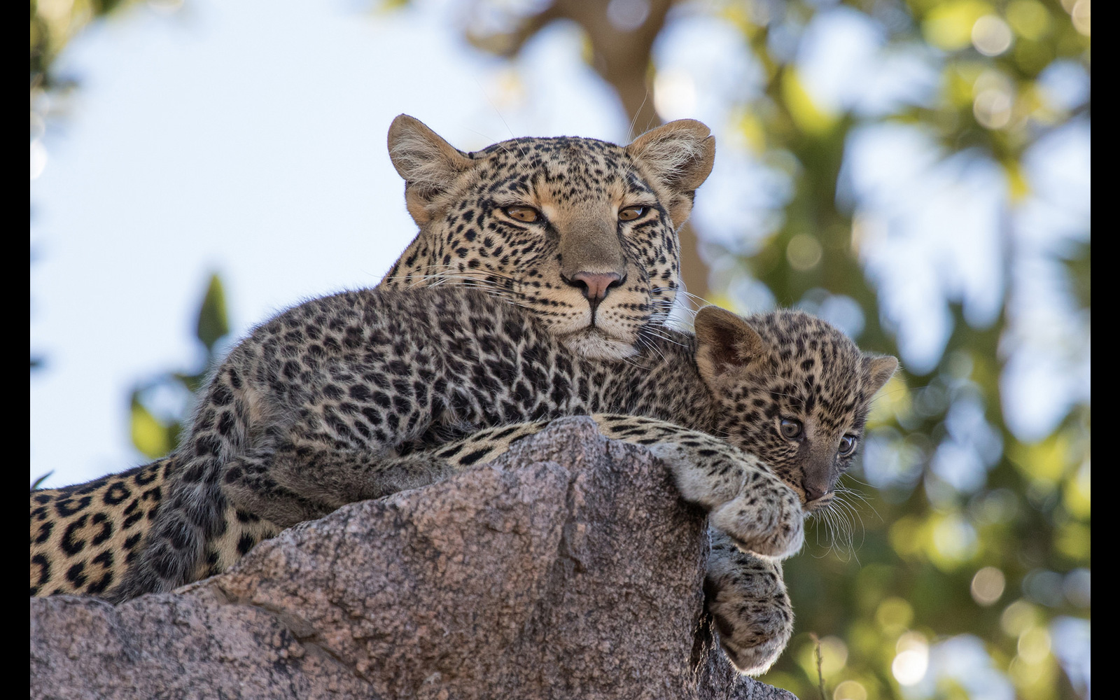 A leopard mother and her cub rest on a rocky hill in Namiri Plains, Serengeti National Park, Tanzania © Pedro Ferreira do Amaral