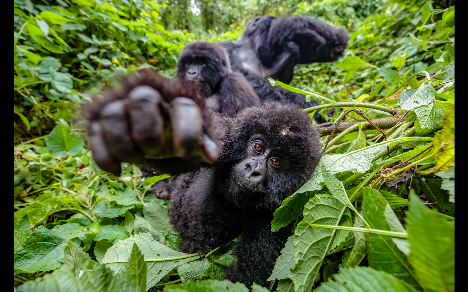 A mountain gorilla juvenile reaches out in Virunga National Park, DR Congo © Bobby-Jo Vial