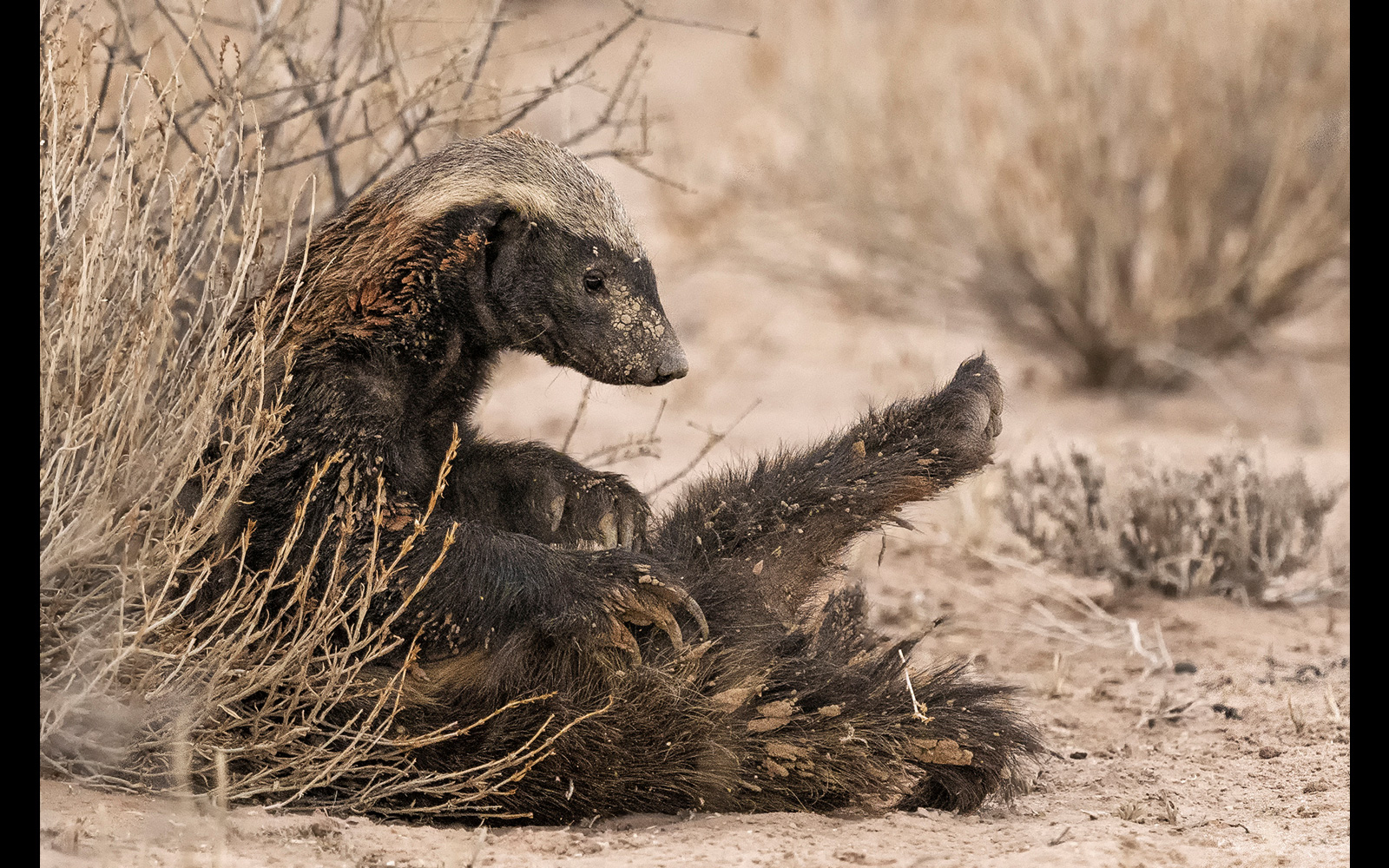 A honey badger cleans up after a mud bath in Kgalagadi Transfrontier Park, South Africa © Johan J. Botha
