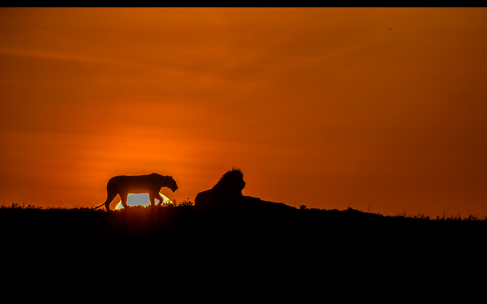 """Lion sunrise"" in Maasai Mara National Reserve, Kenya ©  Chandrashekar Kalyanasundaram"