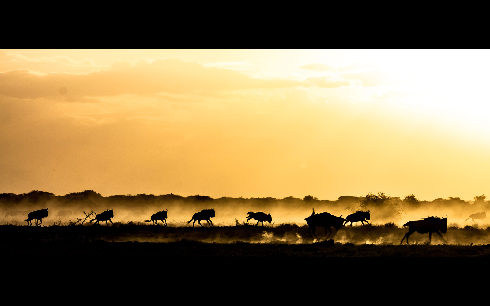 African wild dogs hunting the wildebeests as the sun sets, Maswa Game Reserve, Tanzania © Vianney Jacob Kabwine (Instagram/vianney_jacob)