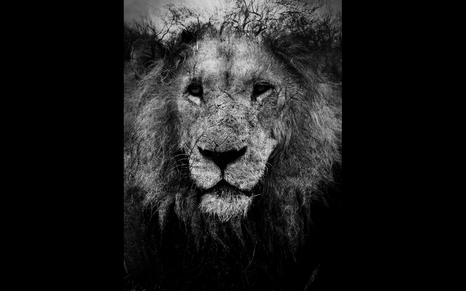 """""""The lion"""" –  A black-and-white portrait taken at Thorny Bush Game Reserve, South Africa © Dave Southwood"""