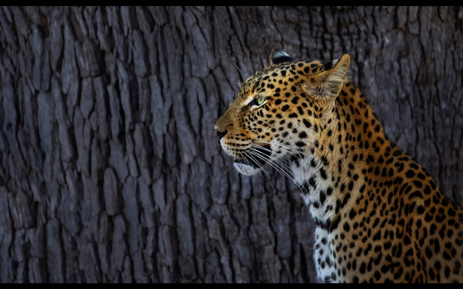 """Contrast"" – a leopard spotted in Khwai Concession Area, Botswana © Panos Laskarakis"